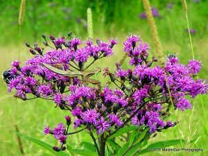 Ironweed, the flower. Much more beautiful than the book cover.